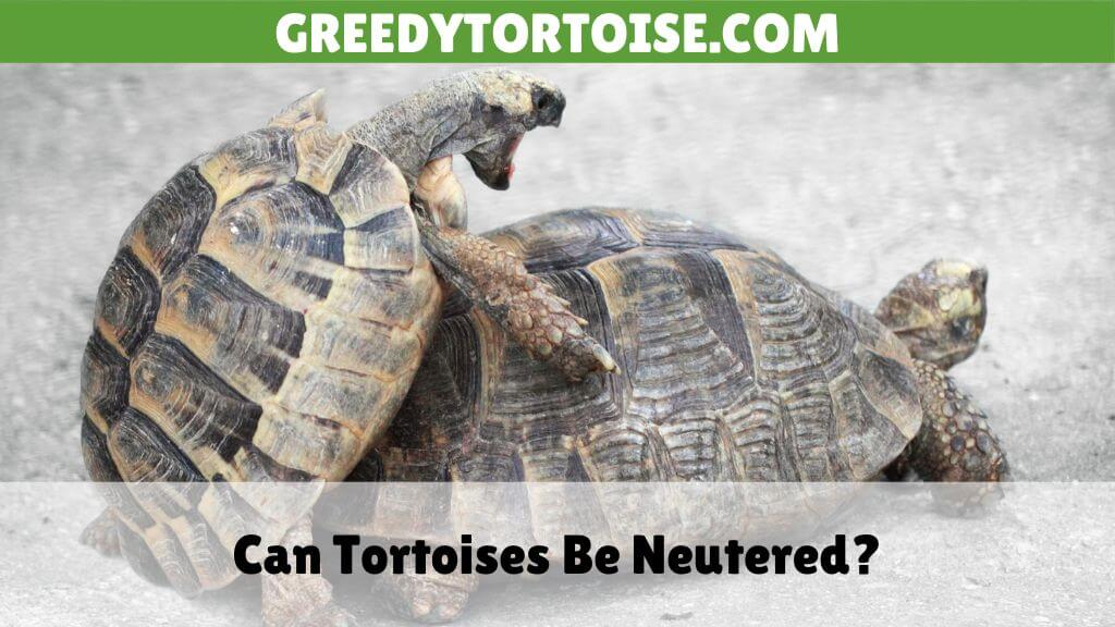 Can Tortoises Be Neutered