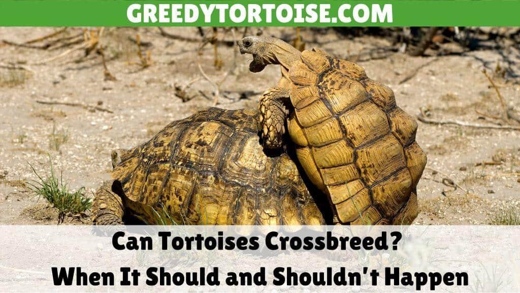 Can Tortoises Crossbreed