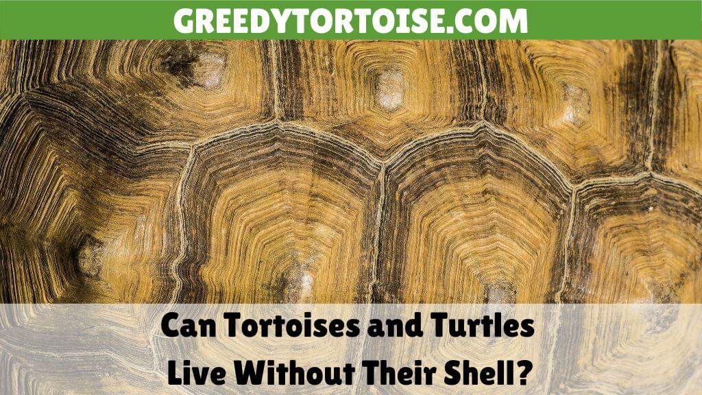 Can Tortoises and Turtles Live Without Their Shell