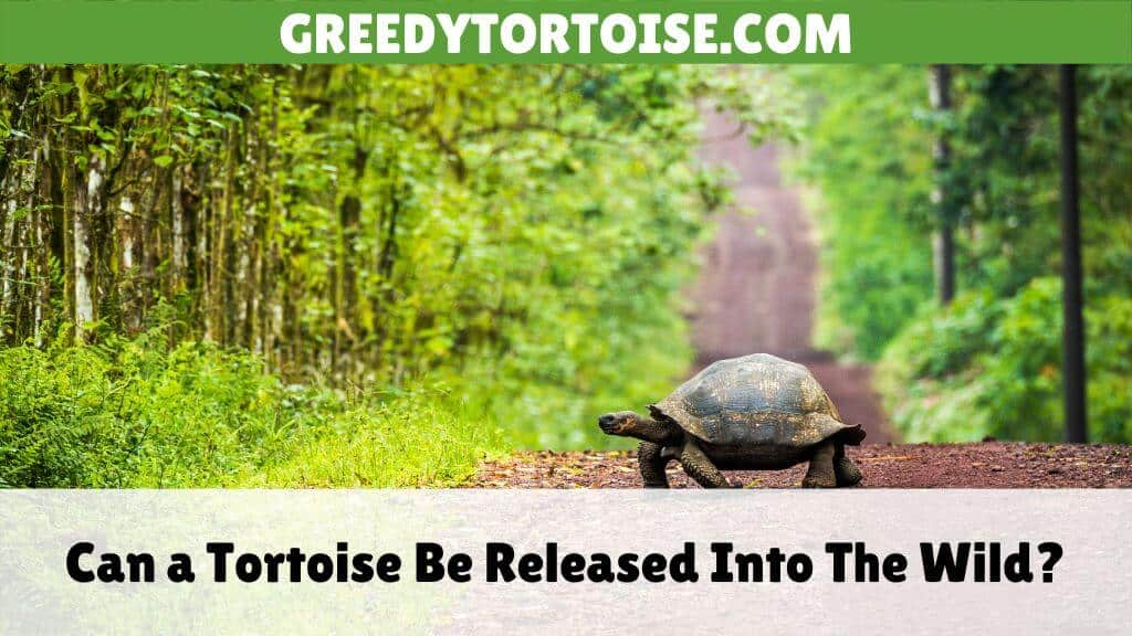 Can a Tortoise Be Released Into The Wild