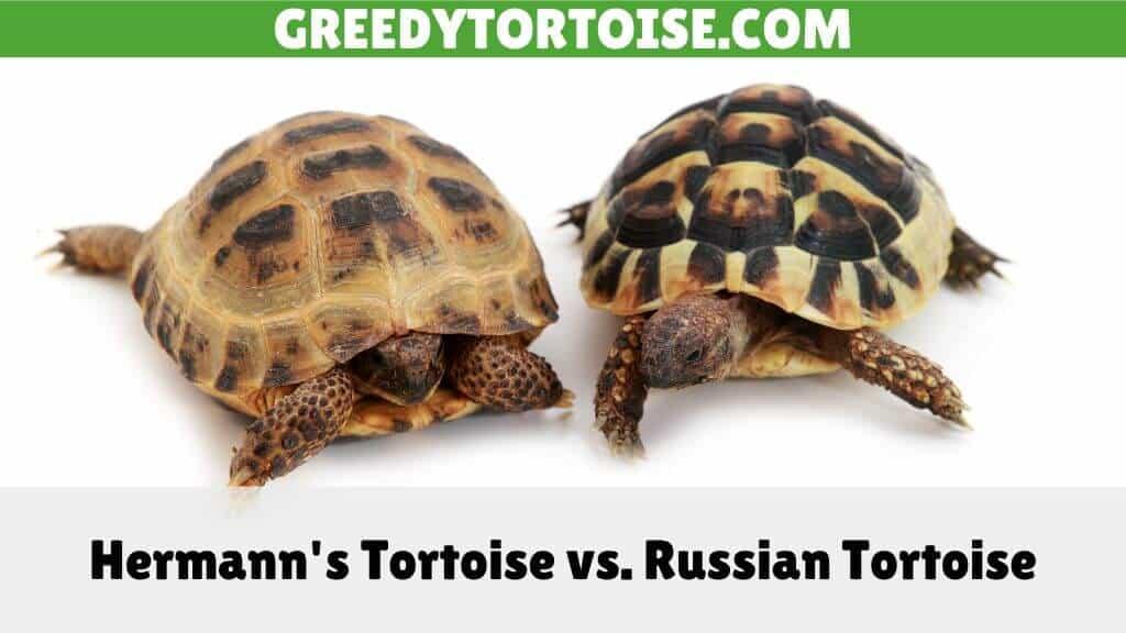 Hermann's Tortoise vs. Russian Tortoise