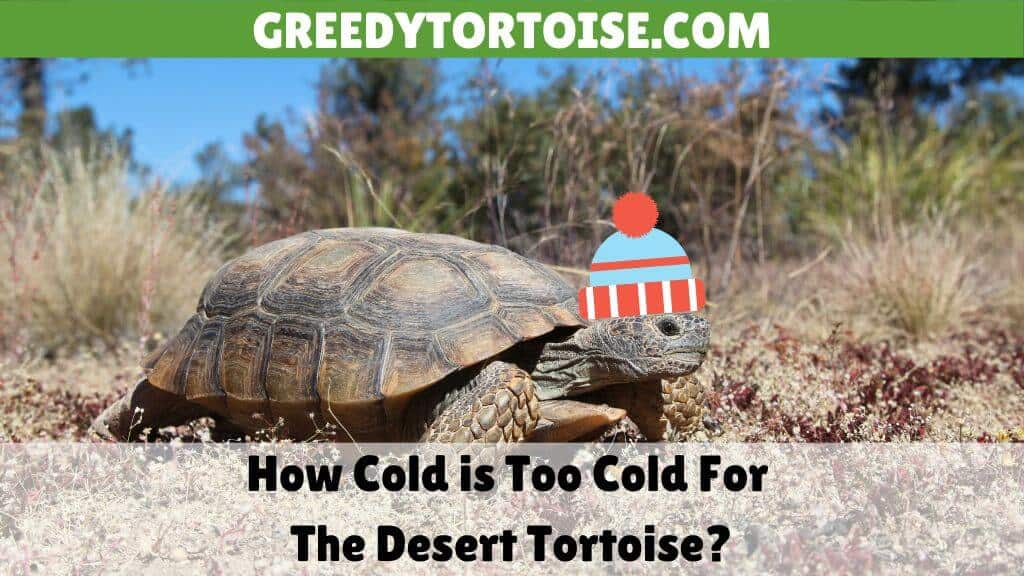 How Cold is Too Cold For The Desert Tortoise