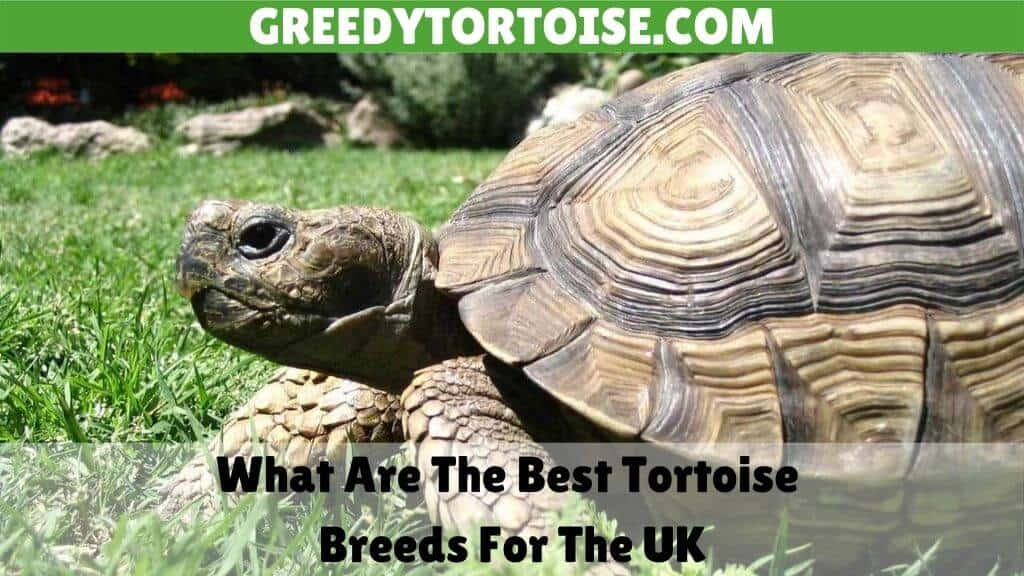 What Are The Best Tortoise Breeds For The UK