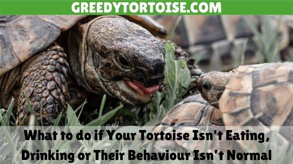 What to do if Your Tortoise Isn't Eating or Drinking Properly