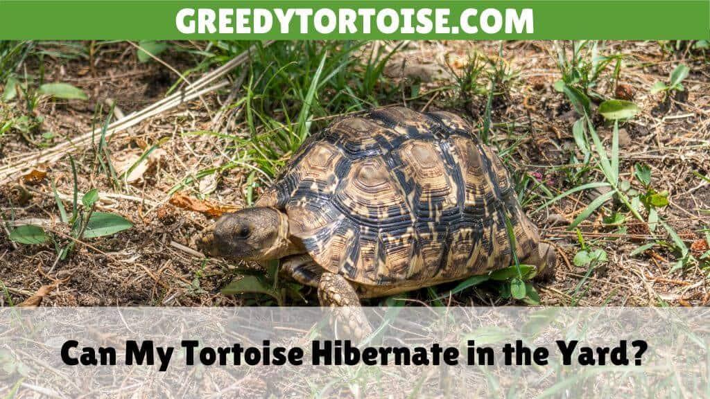 Can My Tortoise Hibernate in the Yard