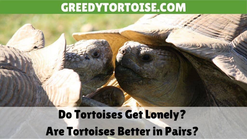 Do Tortoises Get Lonely