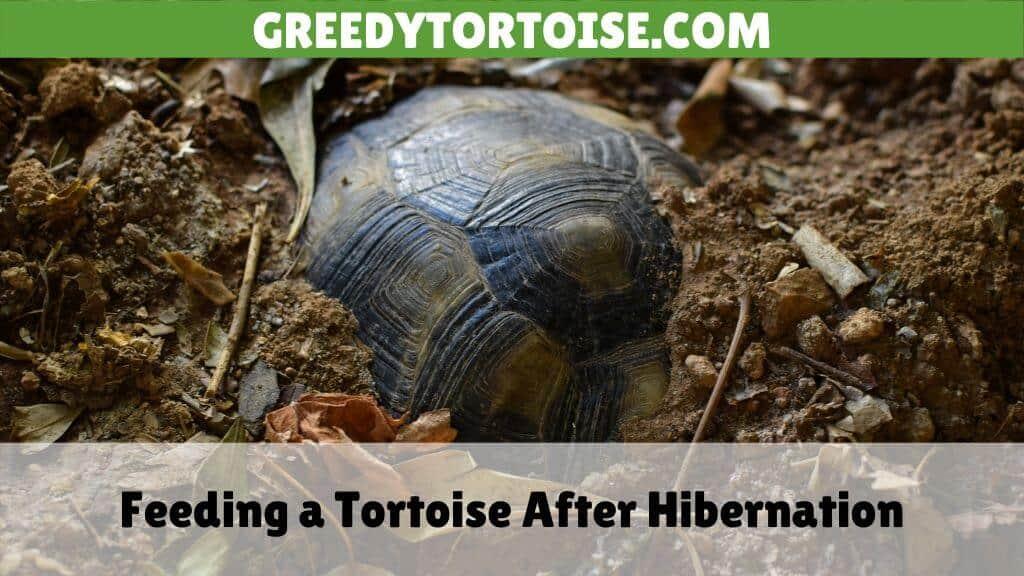 Feeding a Tortoise After Hibernation