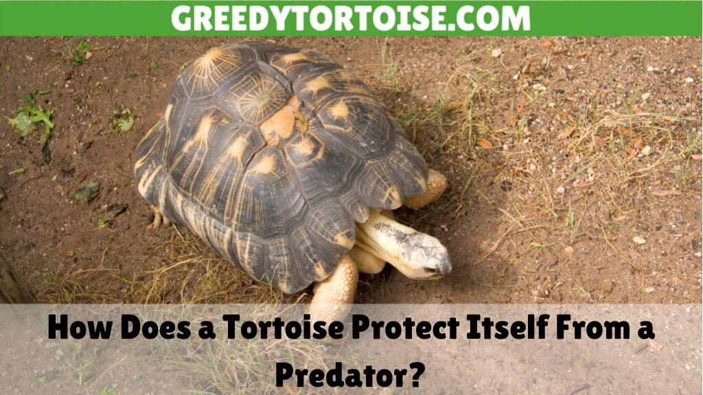 How Does a Tortoise Protect Itself From a Predator