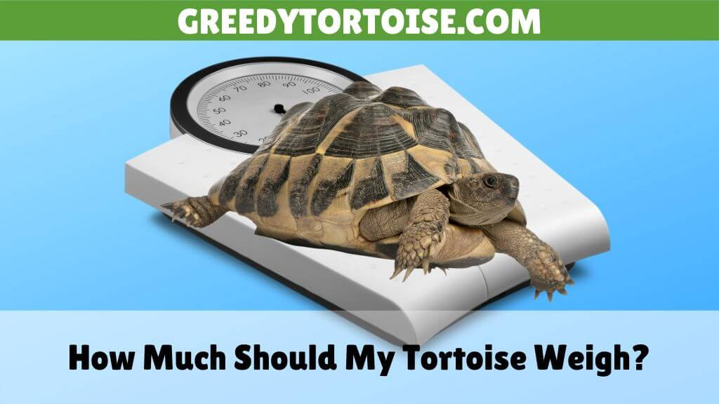 How Much Should My Tortoise Weigh