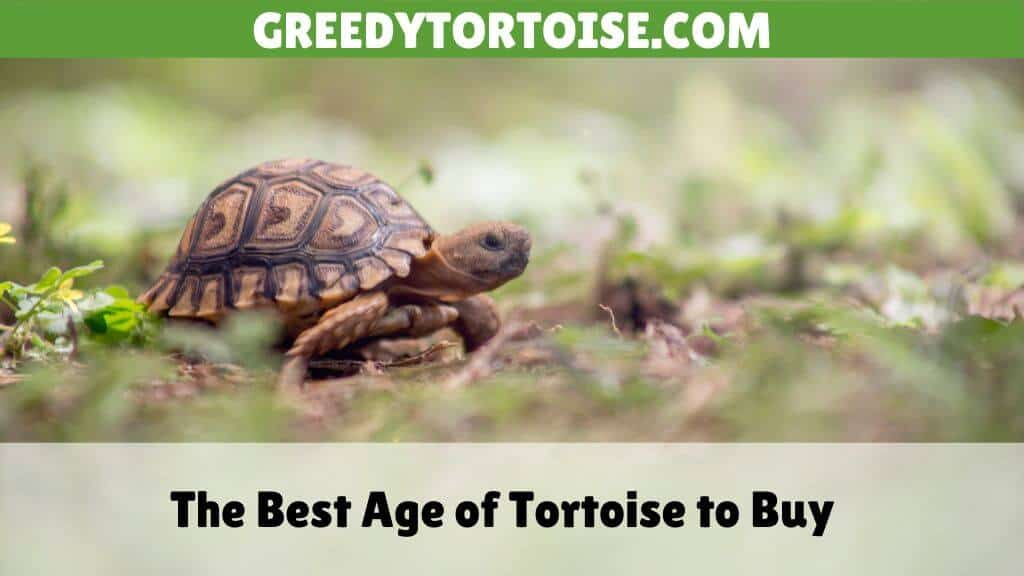 The Best Age of Tortoise to Buy