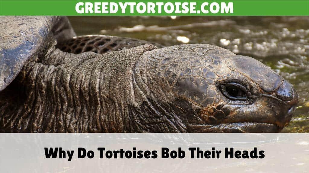 Why Do Tortoises Bob Their Heads