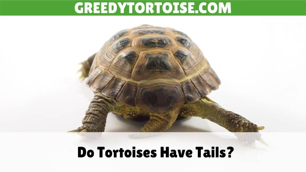Do Tortoises Have Tails