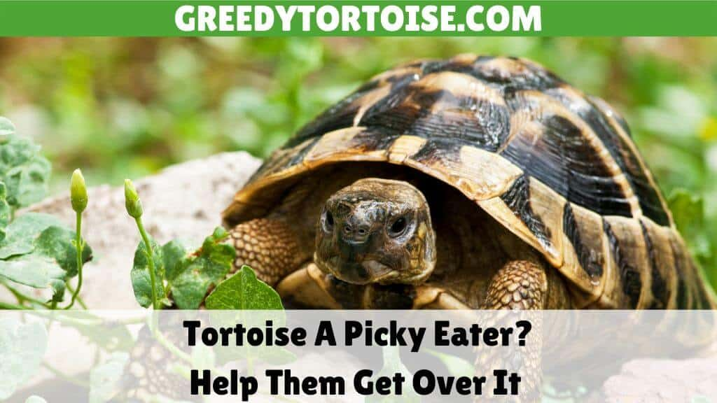 Tortoise A Picky Eater Help Them Get Over It