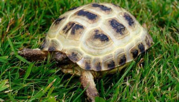 Herbivorous Tortoise