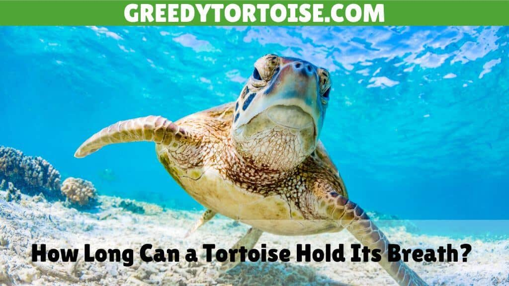 How Long Can a Tortoise Hold Its Breath