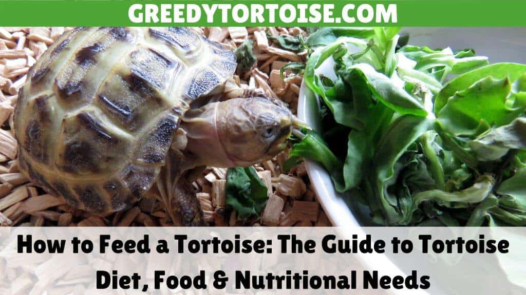 How to Feed a Tortoise