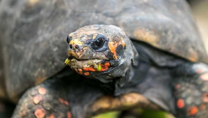 Omnivorous tortoises