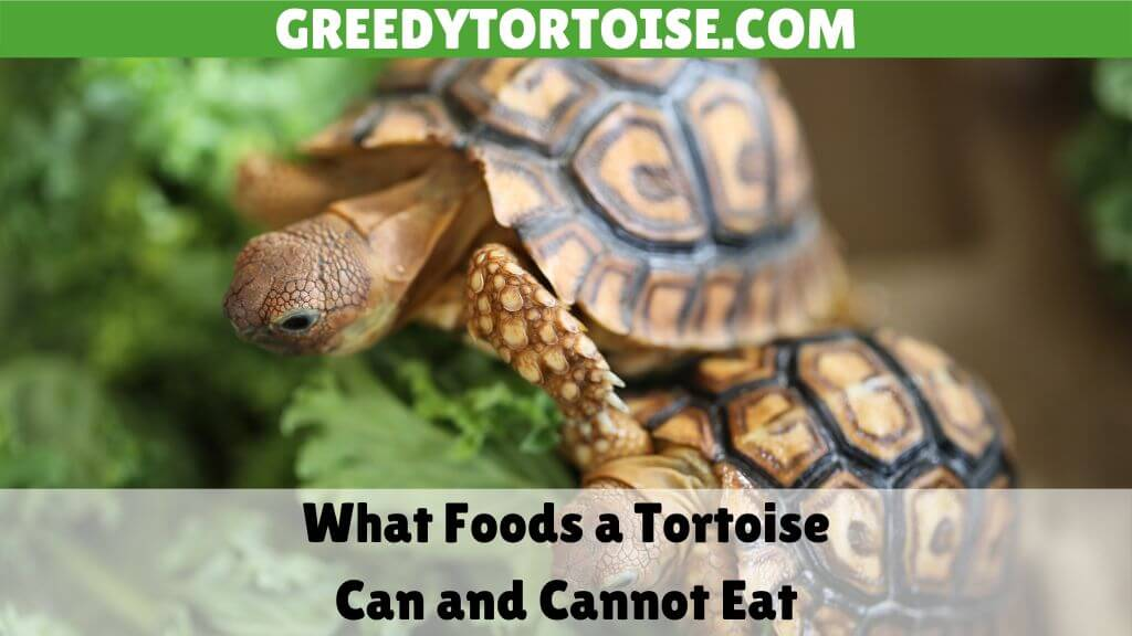 What Foods a Tortoise Can and Cannot Eat