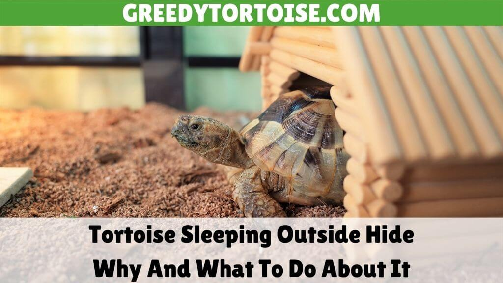 Tortoise Sleeping Outside Hide